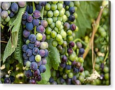 Natures Colors In Wine Grapes Acrylic Print by Teri Virbickis