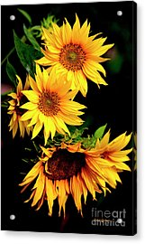 Natures Sunflower Bouquet Acrylic Print
