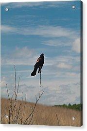 Acrylic Print featuring the photograph Nebraska Red-winged Black Bird by Joshua House