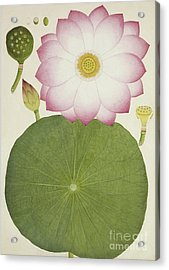 Nelumbium Speciosum Willd Acrylic Print by Indian School