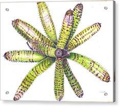 Neoregelia 'dangerous Dana' Acrylic Print by Penrith Goff