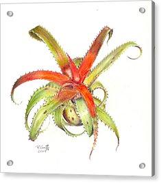 Neoregelia Pendula Acrylic Print by Penrith Goff