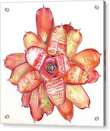 Neoregelia Small Wonder Acrylic Print