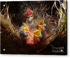 Nest With Brood Parasite Acrylic Print