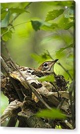Nesting Birds - Wood Thrush Acrylic Print by Christina Rollo
