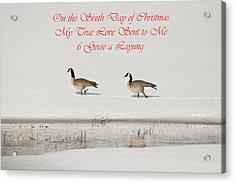 Nesting Canada Geese Acrylic Print