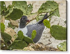 Acrylic Print featuring the photograph Nesting Laughing Gull by Paula Porterfield-Izzo