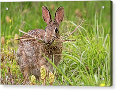 Nesting Rabbit Acrylic Print by Terry DeLuco