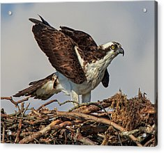 Acrylic Print featuring the photograph Nesting by Robert Pilkington