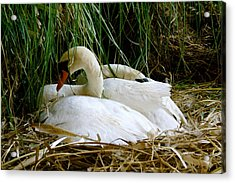 Nesting Swans Acrylic Print by Sonja Anderson