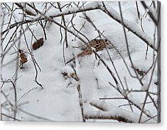 Nesting Woodcock She Will Protect Her Eggs From The Snow Acrylic Print
