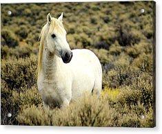 Nevada Wild Horses 3 Acrylic Print by Marty Koch