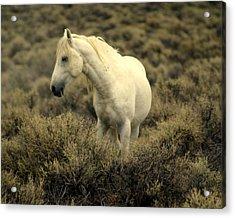 Nevada Wild Horses 4 Acrylic Print by Marty Koch