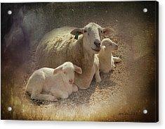 New Baby Lambs Acrylic Print by Lena Wilhite