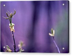 New Buds In Spring Acrylic Print by Randy Muir