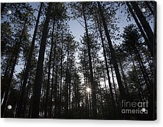 New England Red Pine Forest Acrylic Print by Erin Paul Donovan
