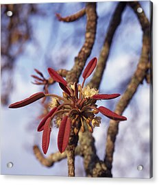 New Growth On A Shea Tree.  A Flower Acrylic Print by David Pluth