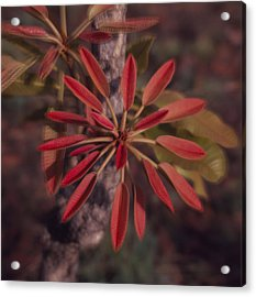 New Growth On A Shea Tree Acrylic Print by David Pluth