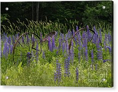 New Hampshire Lupines Acrylic Print by Stan and Anne Foster