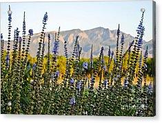 Santa Ana Beauty Acrylic Print by Gina Savage