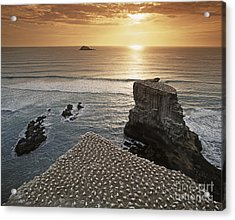 new zealand gannet colony at muriwai beach ,gannet fly from Muri Acrylic Print by Juergen Held