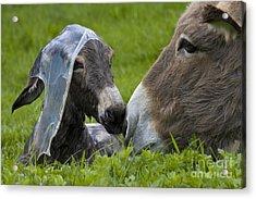 Newborn Donkey Acrylic Print by Jean-Louis Klein & Marie-Luce Hubert