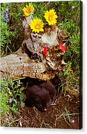 Newborn Foxes Acrylic Print by Dennis Hammer