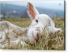 Newborn Lamb Acrylic Print