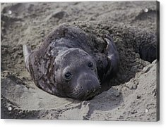 Newborn Northern Elephant Seal Pup Acrylic Print
