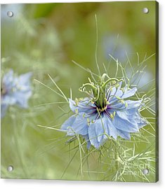 Acrylic Print featuring the photograph Nigella Damascena by Cindy Garber Iverson