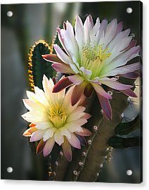 Acrylic Print featuring the photograph Night-blooming Cereus 3 by Marilyn Smith