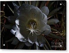 Night-blooming Cereus Deep 2 Acrylic Print by Warren Sarle