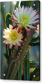 Acrylic Print featuring the photograph Night-blooming Cereus 4 by Marilyn Smith