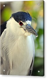 Night Heron Portrait In The Early Morning Light  Acrylic Print by Rose  Hill