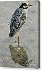 Night Heron Reflection Acrylic Print by Rose  Hill