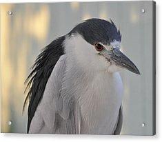 Night Heron  Acrylic Print by Rose  Hill