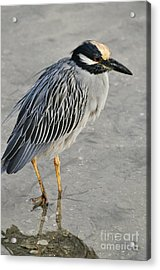 Night Heron With Breeding Colors Acrylic Print by Rose  Hill