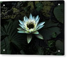 Night Lily Acrylic Print by Laurie Prentice