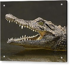 Nile Crocodile Acrylic Print by Tony Beck