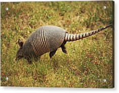 Nine-banded Armadillo Jumping Acrylic Print by Roena King