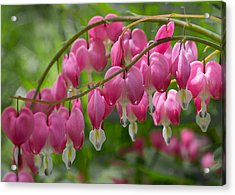 Acrylic Print featuring the photograph Bleeding Heart by Patti Deters