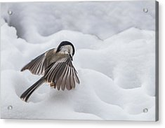 Acrylic Print featuring the photograph Chickadee - Wings At Work by Patti Deters