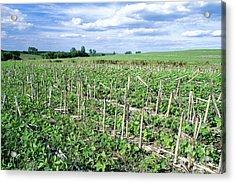 No-till Soybean Field Acrylic Print by Inga Spence