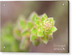 Nodding Pinweed I Acrylic Print by Clarence Holmes
