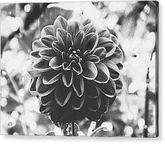 Noir Dahlia  Acrylic Print