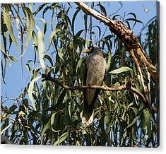 Noisy Miner Bird 2 - Canberra - Australia Acrylic Print by Steven Ralser