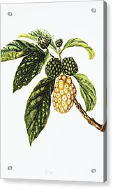 Noni Fruit Art Acrylic Print by Hawaiian Legacy Archive - Printscapes