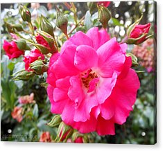 Nora's Knockout Roses Acrylic Print