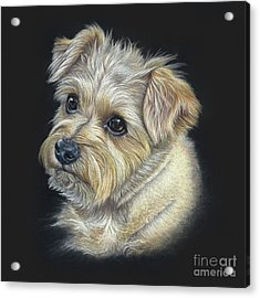 Acrylic Print featuring the drawing Norfolk Terrier 'hattie' by Donna Mulley