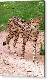 North African Cheetah Acrylic Print